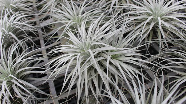 Tillandsia Cotton Candy, Tillandsia, Airplant
