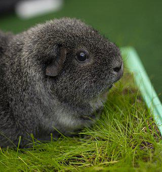Guinea Pig, Cute, Rodent, Animal, Sweet, Fur