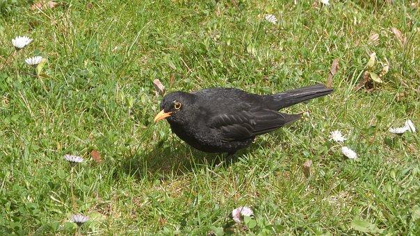 Kos Black, Turdus Merula, Black Bird, Blackbird