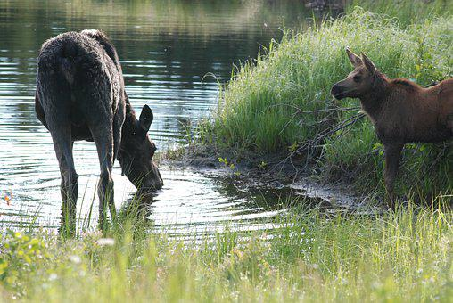 Moose, Cow And Calf, Eating, Hey I Am Eating Here