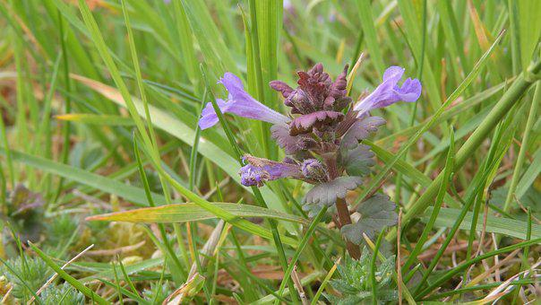 Ivy, Glechoma Hederacea, Flower In The Grass, Medicinal