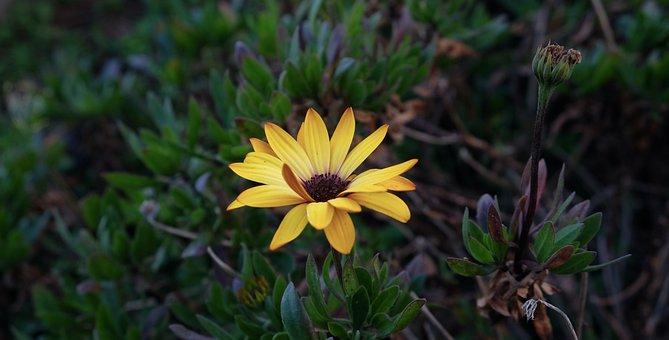 Flower, Yellow, Sunflower, Rosa, Petals, Garden