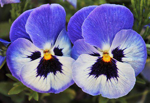 Pansy, Mauve, Blooming, Two, Pansies, Garden, Pollen