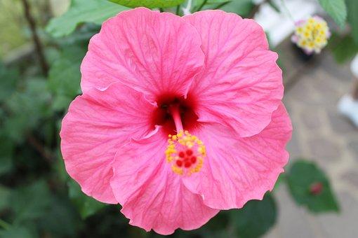 Hibiscus Flower, Hibiscus, Blossom, Bloom, Flower