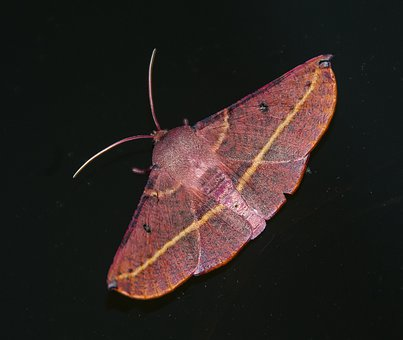 Moth, Large, Insect, Brown, Yellow, Night, Dark