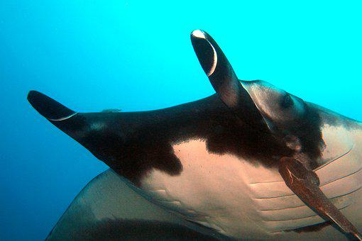 Manta, Ray, Underwater, Diving, Marine, Wildlife