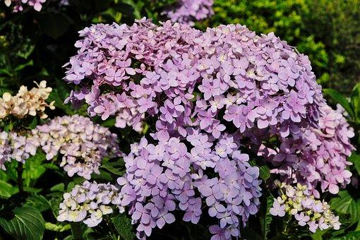 Hydrangea, Flower, Purple, Pink, Plant, Leaf, Beauty