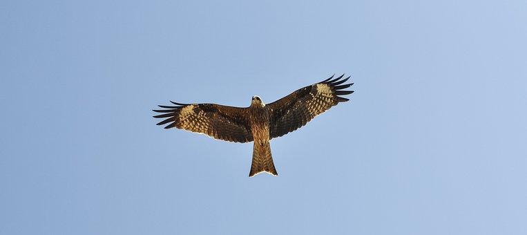 Milvus Migrans, Black Kite, Prey, Bird Of Prey, Bird