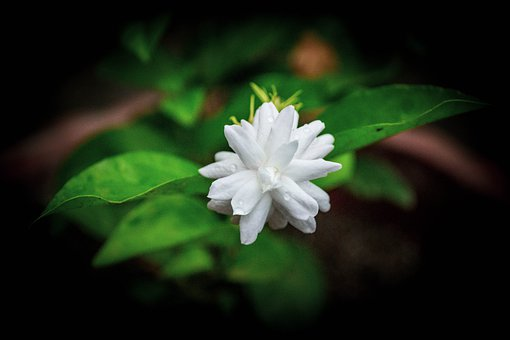 White Flower, White, Spring, Garden, Bloom, Daisies