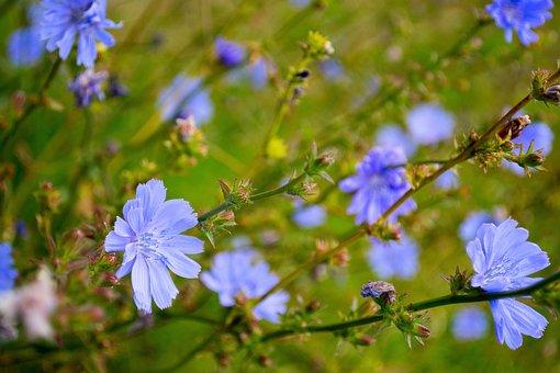 Chicory, Flower, Plant, Summer, Cichorium, Field