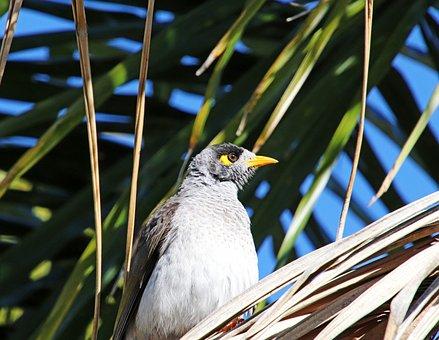 Bird, Noisy Miner, Wildlife, Palm Tree, Garden, Nature