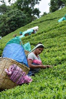 Tea, Green, Drink, Mint, India, Garden, Nature, Farmer