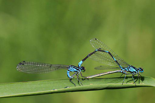 Dragonflies, Pairing, Nature, Insect, Wing, Summer