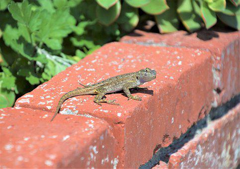 Thin Lizzy Looking At You, Garden, Lizard, Reptile
