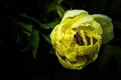 Peony, Flower, Yellow, Nature, Green, Plant, Garden