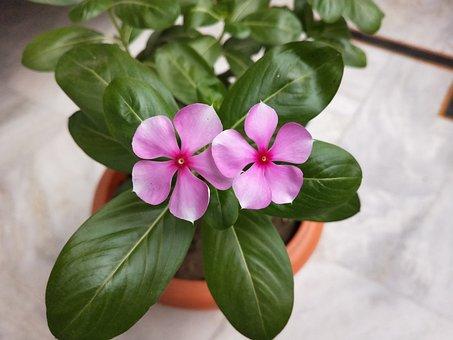 Pink Flower, Flowerpot, Flowers, Flora