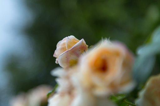 Rose, Flower, Shrub, The Puck, Yellow, Green, Nature