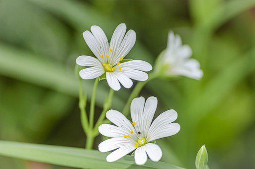 Flower, Spring, Craquet, Ruff, Virgin, Stellaria