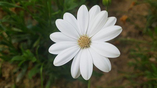 White Flower, Flower, White, Spring, Plant, Garden
