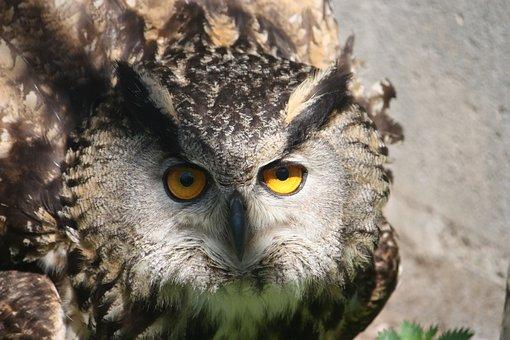 Owl, Raptor, Nocturne, Bird, Animal, Fauna, Ornithology