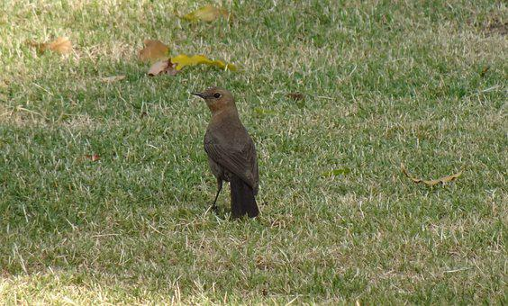 Bird, Brown Rock Chat, Indian Chat