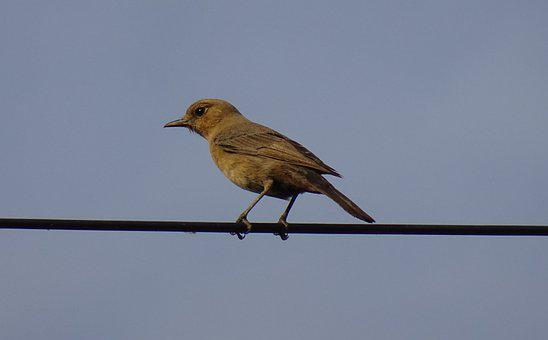 Bird, Brown Rock Chat, Indian Chat, Cercomela Fusca