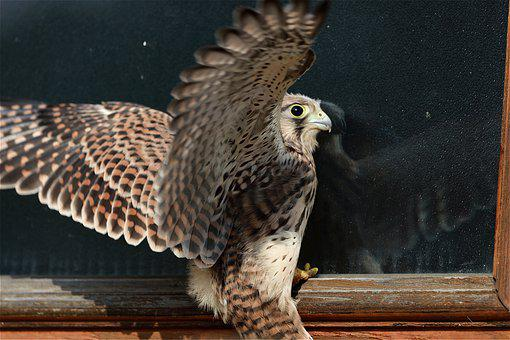 Falcon, Young Hawk, Farley, Wild Bird, Flown, Raptor