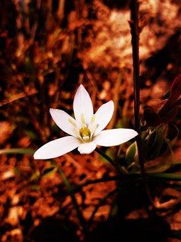 Lily Of The Field, Star Of Bethlehem, Flower, White