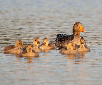 Greylag Goose, Graylag Chick, Mother And Baby