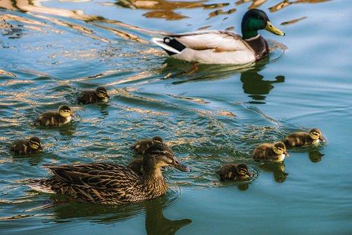 Mallards, Family, Ducks, Nature, Water, Ducklings