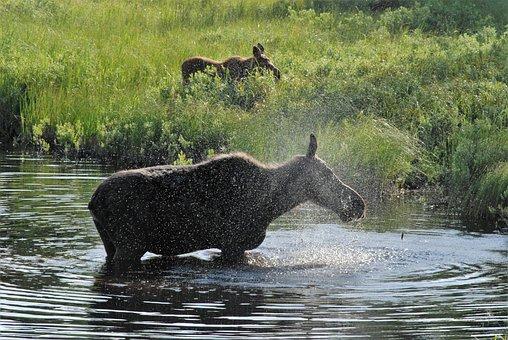Moose, Spray, Wet, Soaking Wet, Wet Mother, Nature