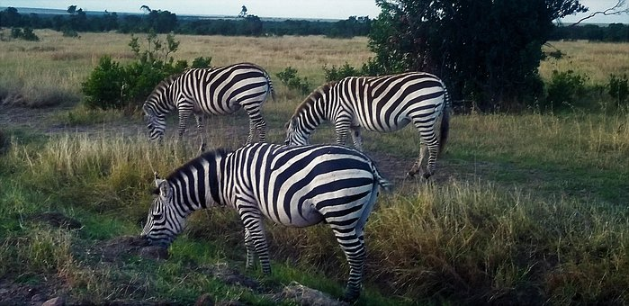 Zebra, Africa, Kenya, Stripes, Wildlife, Animal, Nature