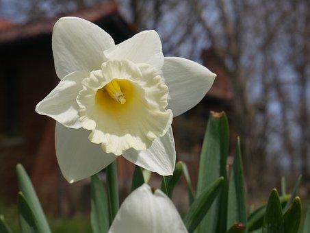 Daffodil, Plant, Narcissus, Flower, Nature, Springtime
