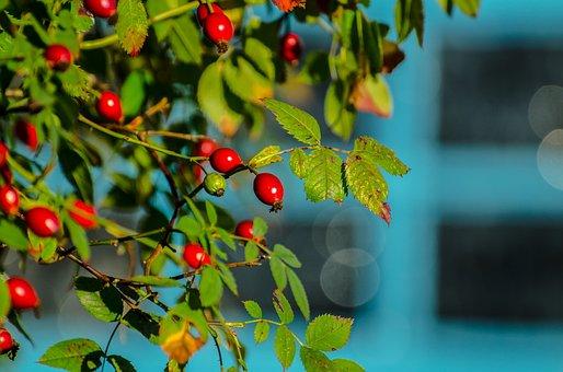 Rose Hip, Rose, Hip, Hedgerow, Autumn, Red, Leaf, Thorn