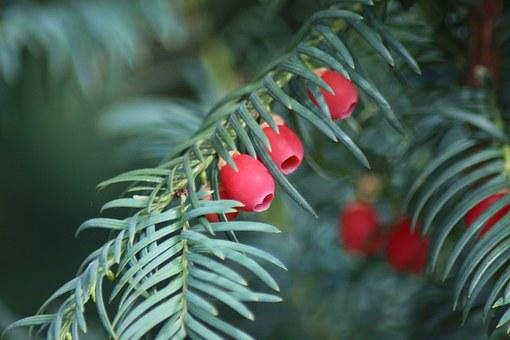 Yew, Autumn, Fruits, Berries
