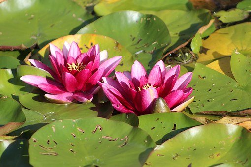 Two Water Lilies, Pink, Purple, Blossom, Bloom, Garden
