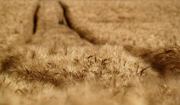 Cornfield, Field, Cereals, Summer, Agriculture, Arable