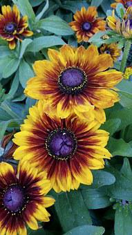 Gaillardia, Blanket, Flower, Parrot Flower