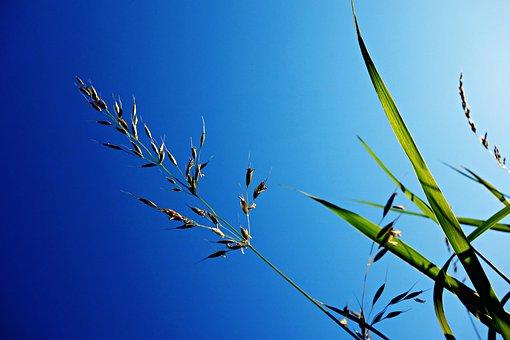 Grass, Halm, Stem, Blade, Grass Halm, Plant, Nature