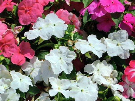 Begonias, Jardiniere, Pink Flowers, White Flowers