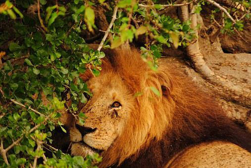 Leon, Kenya, Savannah, Africa, Animla, Predator