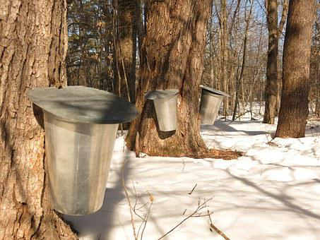 Maple, Maple Syrup, Bucket, Sweet, Sap, Winter, Tree