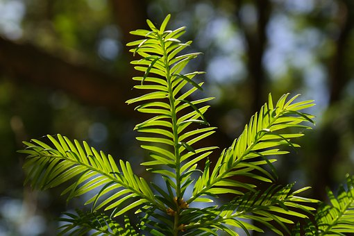 Needles, Yew, Needle Branch, Green, European Yew