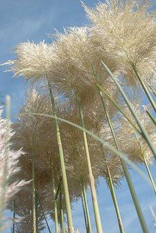 Pampas Grass, Ornamental Grasses, Planting Grasses