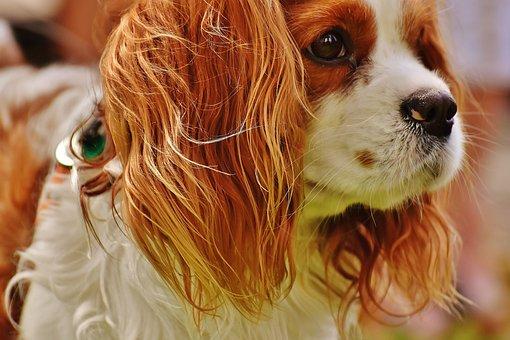 Dog, Cavalier King Charles Spaniel, Funny, Pet, Animal