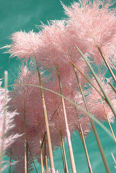 Pampas Grass, Ornamental Grasses, Plants, Grasses