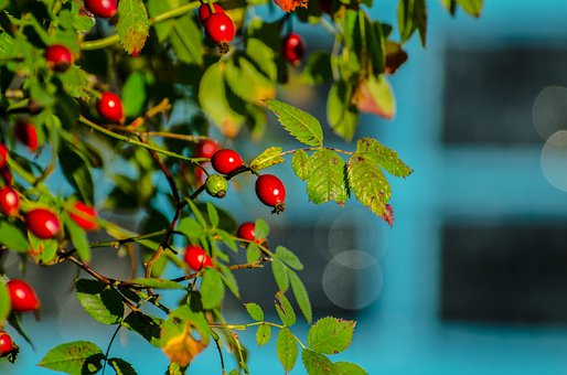 Rose Hip, Rose, Hip, Hedgerow, Autumn, Red, Leaf, Thorn