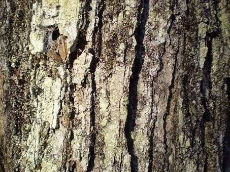 Maple, Bark, Tree, Nature, Trunk, Sugar, Syrup, Sap