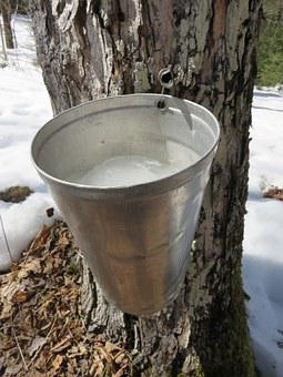 Maple, Sap, Syrup, Tree, Sugar, Bush, Bucket