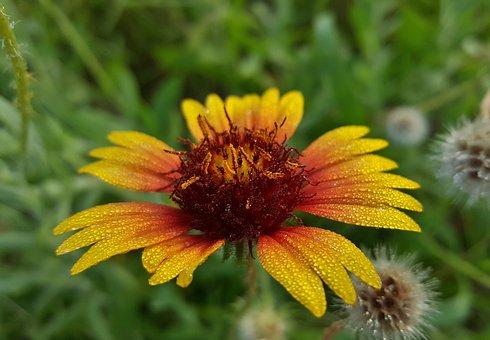 Blanket Flower, Flower, Firewheel, Wildflowers, Floral